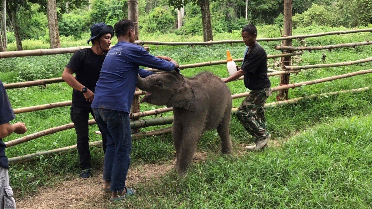 สบอ.ที่12อุทยานฯรอลุ้นช้างโขลงแม่มารับลูกช้างพลัดหลงรอบ2