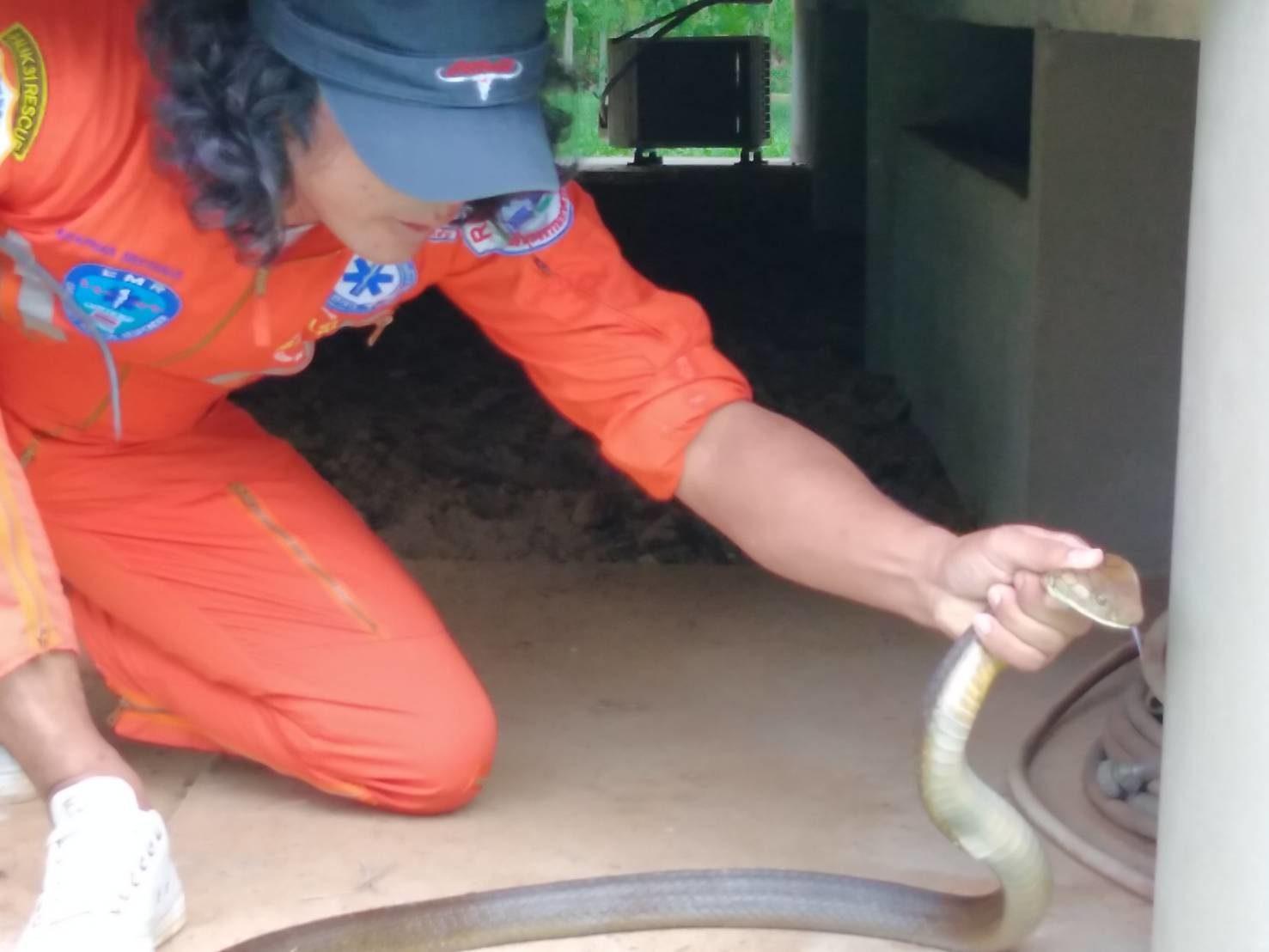 งูจงอาง 3 เมตรมุดใต้ถุน เจ้าของบ้านระทึก! รีบแจ้งกู้ภัยช่วยจับ