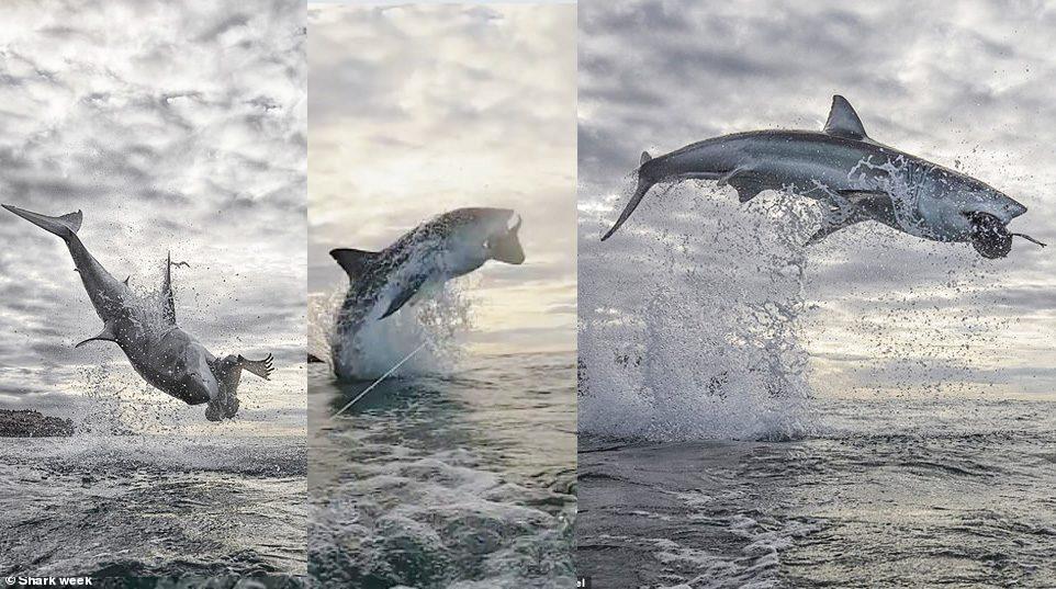 ทึ่งฉลามเหินฟ้า พุ่งตัวขึ้นจากทะเล สูงเป็นสถิติ 4.5 เมตร