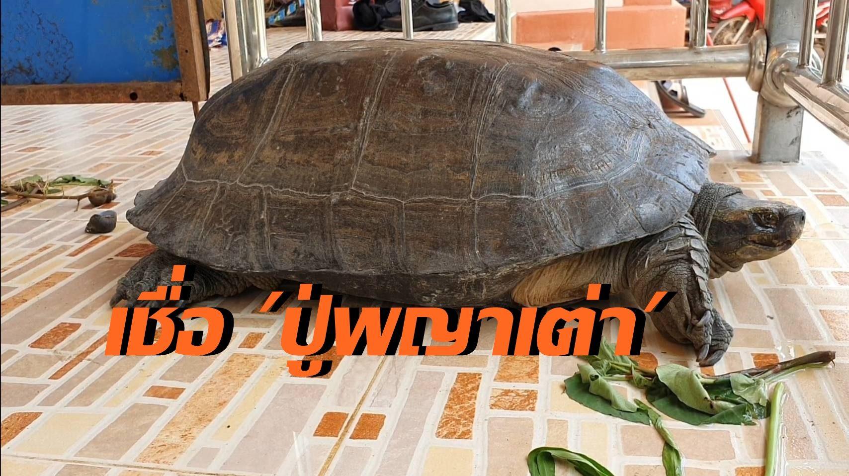 เต่าผงกหัวรับคำเชิญ ชาวบ้านรีบนำกลับ เชื่อเป็นปู่พญาเต่ามาให้โชคใกล้วันหวยออก