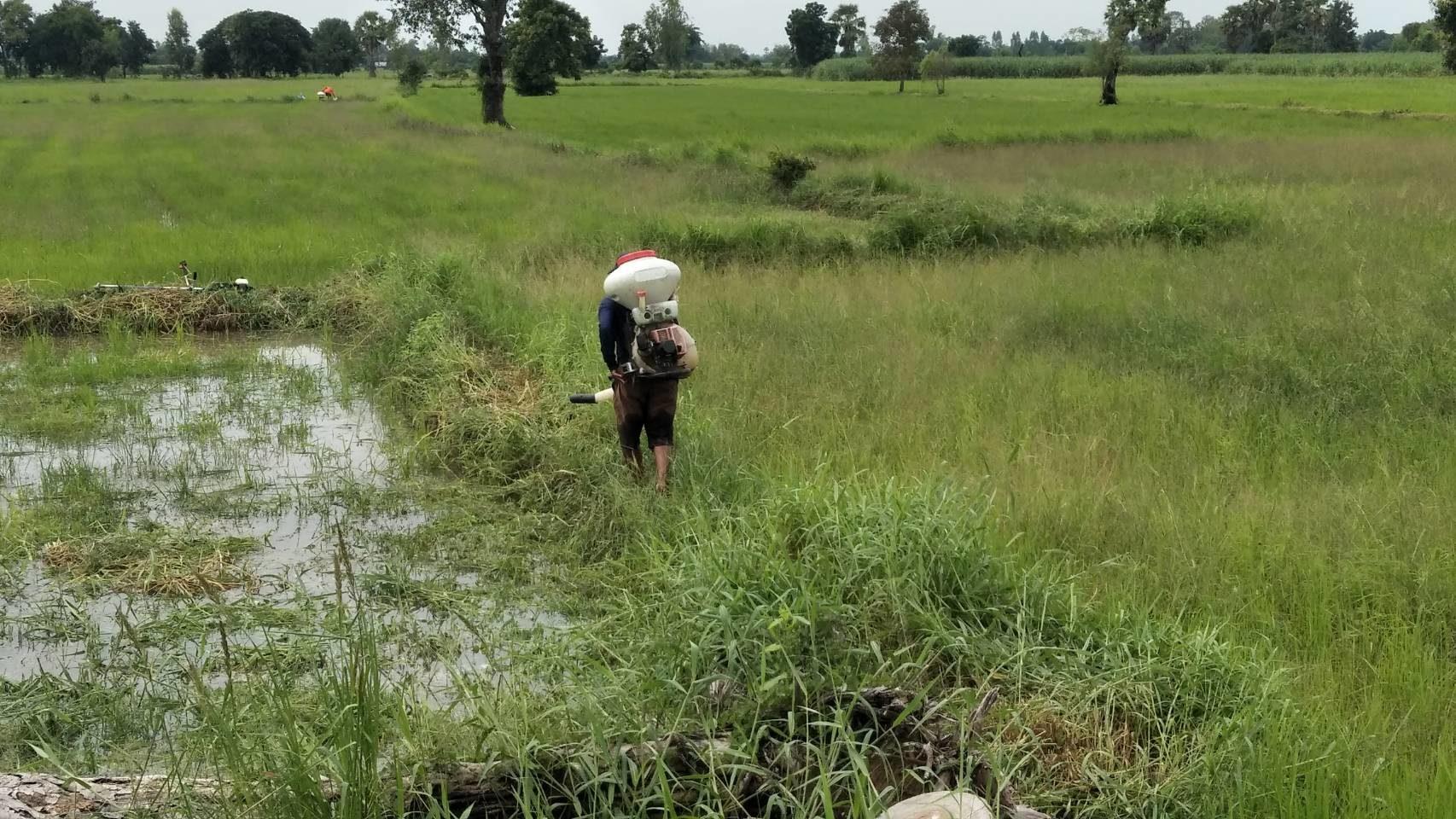 ฝนทิ้งช่วงนาน ชาวนาโคราชเดือดร้อนหนัก วัชพืชปกคลุมต้นข้าว ใช้สารเคมีฉีดพ่นแต่ไม่ได้ผล
