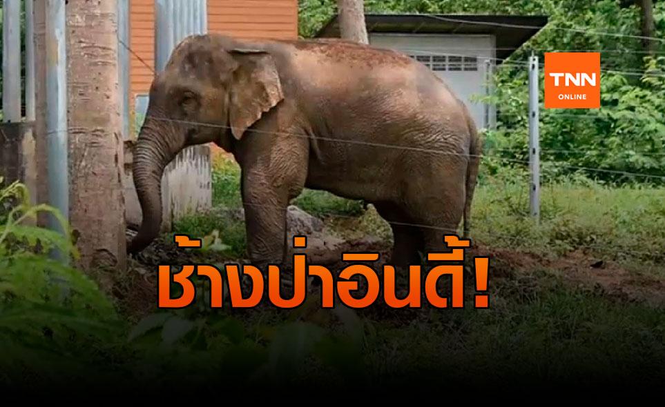 ช้างสีดอแก้ว! ตกมันหนีเข้าป่า เตือนชาวบ้านระวังอันตราย