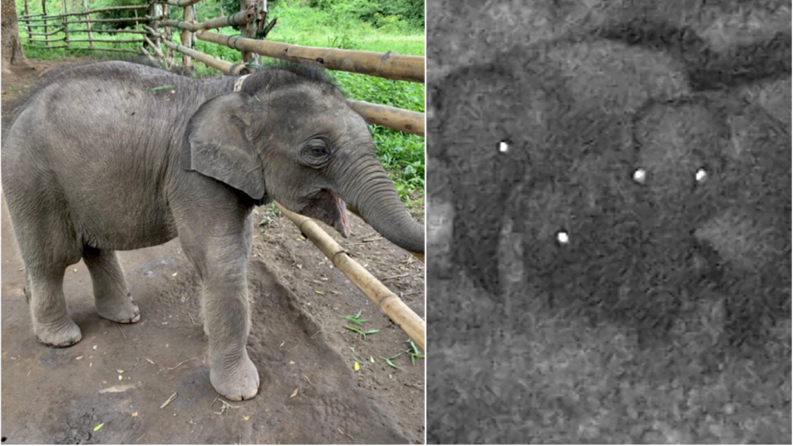 ลูกช้างพลัดหลงห้วยขาแข้งยังดื้อ ไม่ยอมกลับไปกับโขลงแม่ช้าง