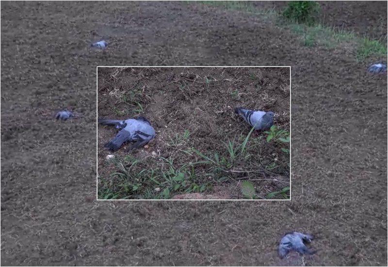 ตายเกลื่อน! นกพิราบถูกวางยา บินตกตามไร่เกษตร บางตัวดิ้นทุรนทุรายก่อนสิ้นใจ