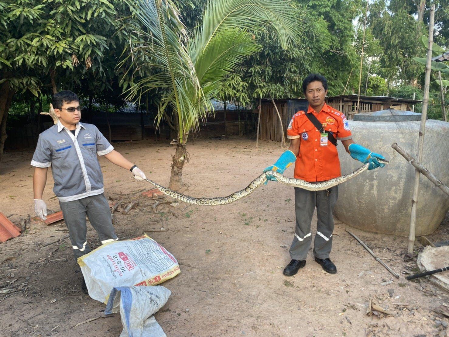 ช่างน่ากลัว! งูเหลือมยาวกว่า 3 เมตรบุกเล้าเขมือบไก่กู้ภัยเร่งช่วยจับ