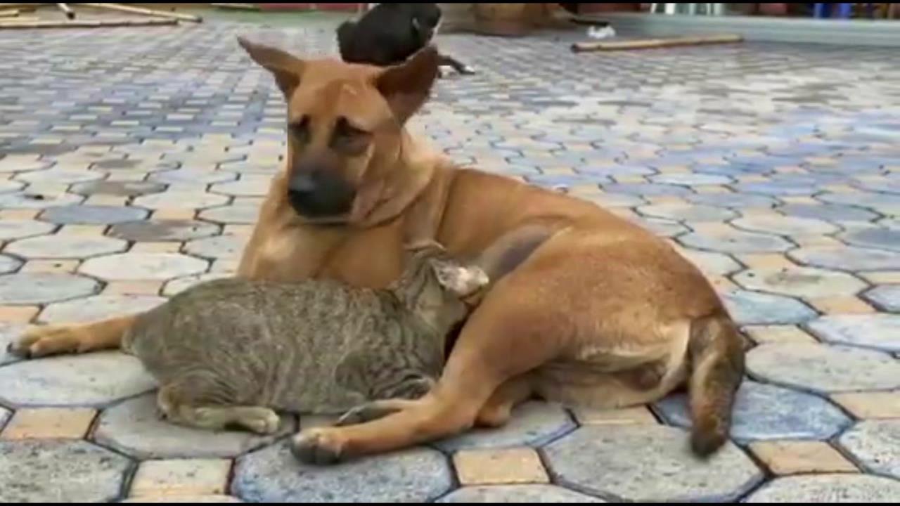รักต่างสายพันธุ์ แม่หมาเลี้ยงลูกแมว ยอมให้ดูดนมเหมือนเป็นลูกตัวเอง (ชมคลิป)