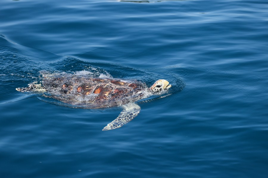 จีนเปิด 'ฐานเตรียมพร้อมเต่าทะเล' ฝึกดูแลตัวเอง ก่อนปล่อยคืนธรรมชาติ