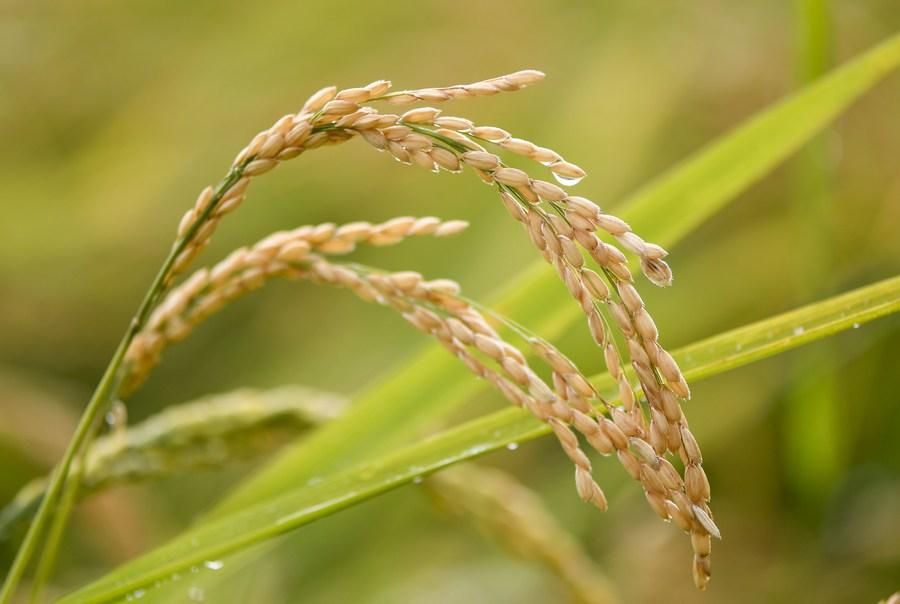 จีนกระตุ้นท้องถิ่น 'ปกป้องที่ดินทำกิน' พิทักษ์แหล่งอาหารเลี้ยงคนทั้งชาติ
