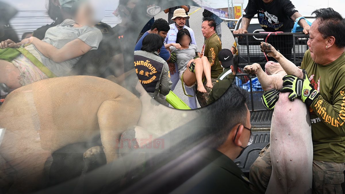 หงส์ เปิดใจ ใครๆก็รักหมา เจ้าหน้าที่ยิงยาสลบพิตบูล ก่อนหามพาส่งรพ.