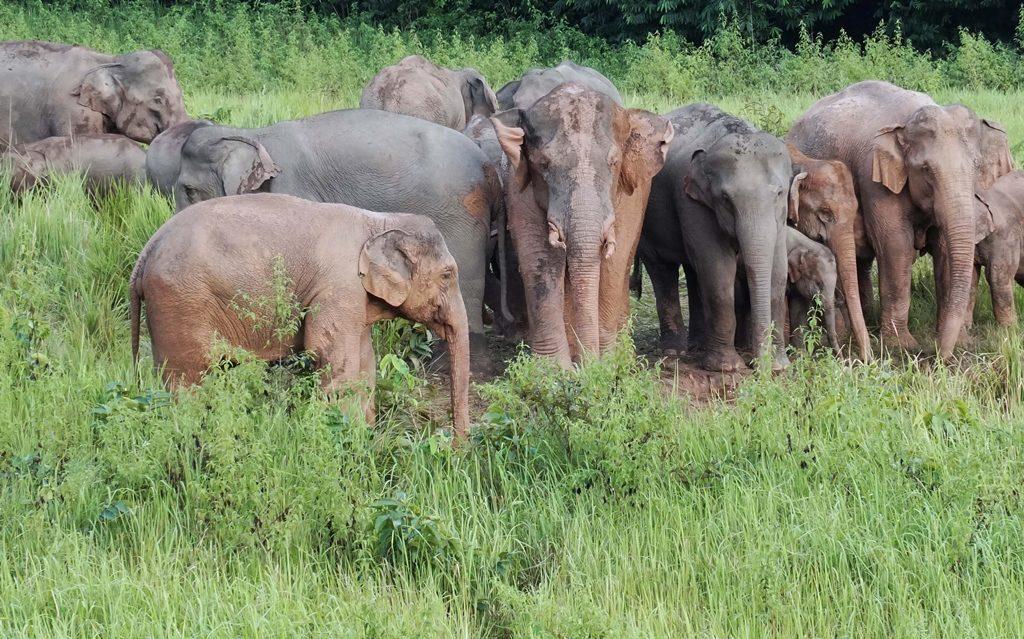 นักท่องเที่ยวตื่นตา โขลงช้างป่าลงกินดินโป่งตอนกลางวัน หน.อุทยานฯเขาใหญ่เผย เป็นภาพหาดูยากมาก