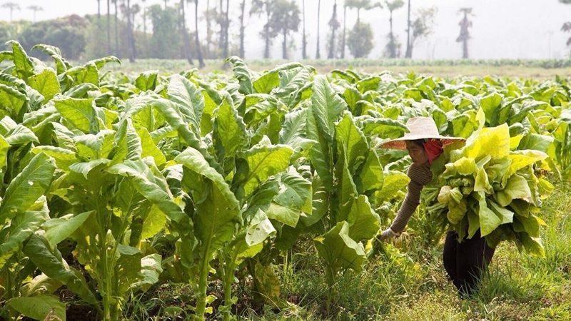 ส.ส.แพร่ ทวงรัฐบาล เร่งจ่ายเงินชดเชย ชาวไร่ยาสูบ โอดเดือดร้อนหนัก