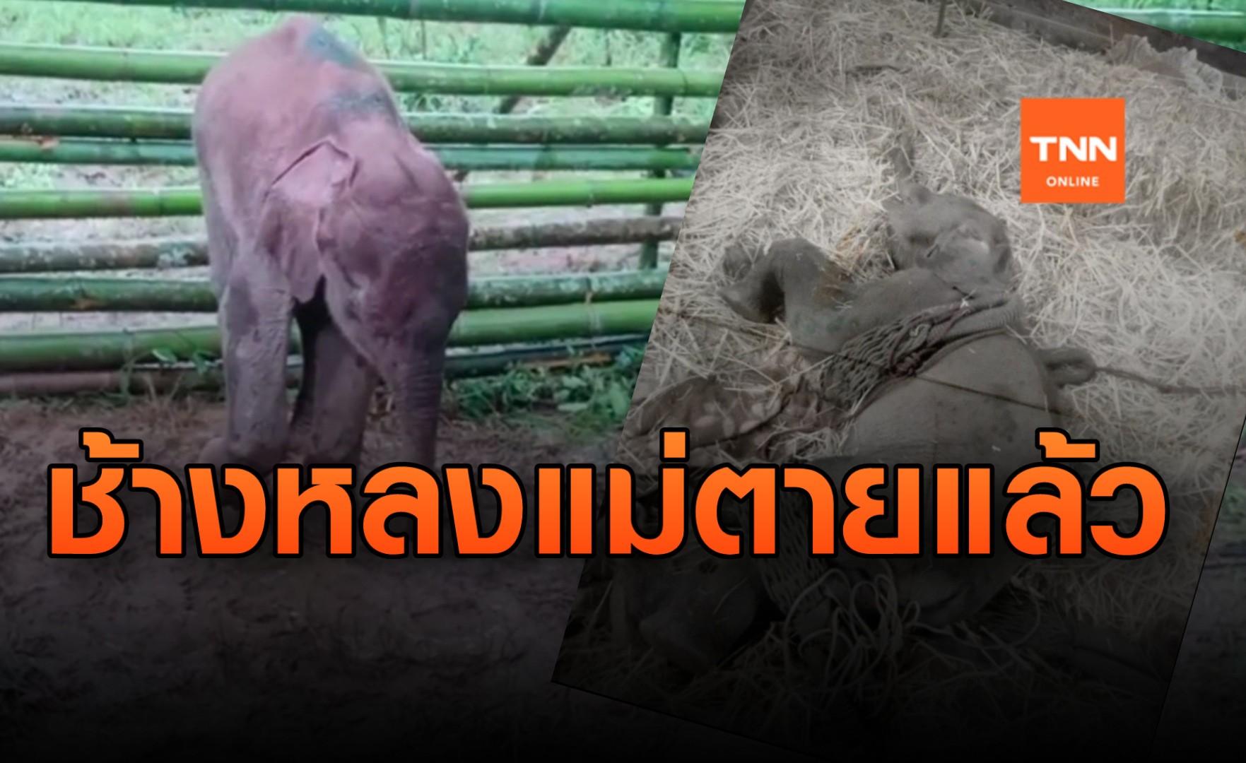 สุดเศร้า! ลูกช้างป่ากำพร้าแม่ตายแล้ว