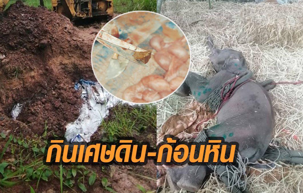 เสียชีวิตแล้ว! ลูกช้างพลัดหลงแม่ที่ป่าน้ำหนาว พบเศษดิน-ก้อนหินในทางเดินอาหาร