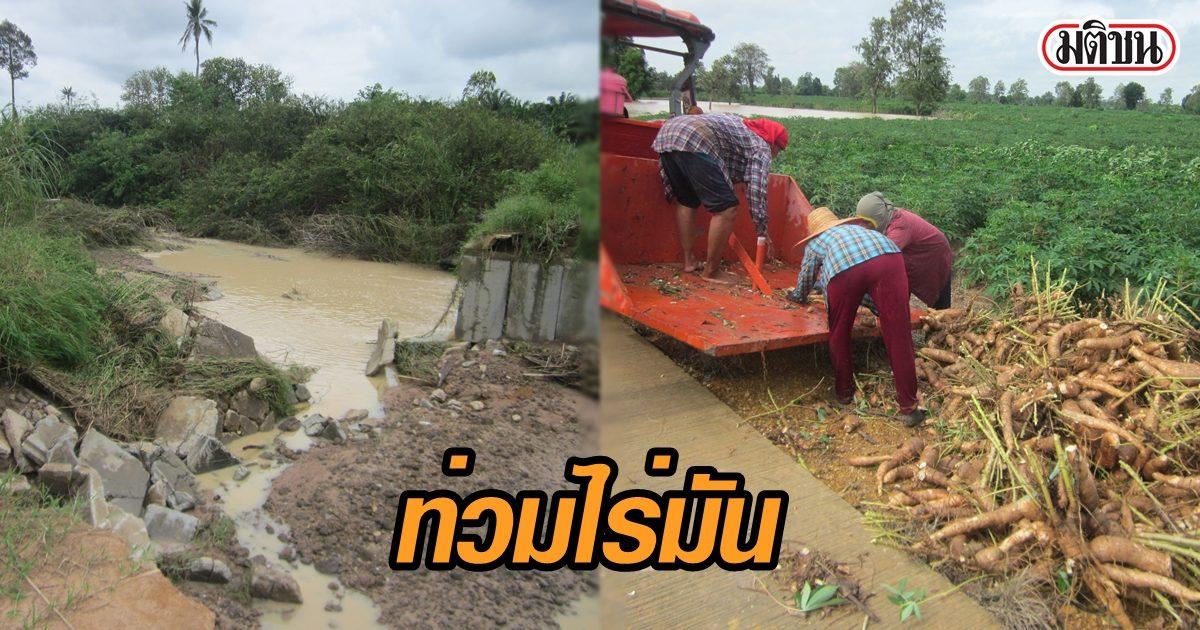 เกษตรกรโอด โนอึลทำน้ำป่าพัดถนนขาด ท่วมไร่มันเน่าเสียหาย หวั่นขาดทุนย่อยยับ