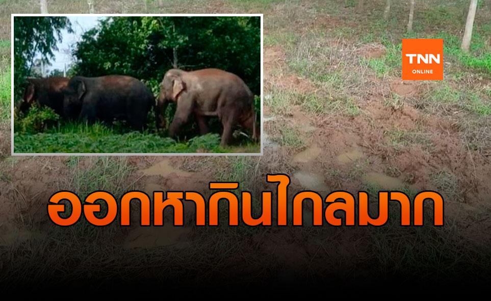 พื้นที่การเกษตรเสียหายยับ! โขลงช้างป่าอ่างฤาไนจากแปดริ้ว ยกทัพมาไกลถึงปราจีนบุรี