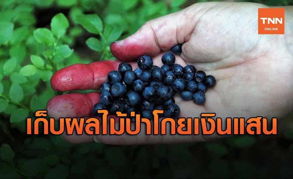 เปิดรายได้คนเก็บผลไม้ป่าสวีเดน-ฟินแลนด์ 2 เดือนโกยเงินเข้าไทยอื้อซ่า