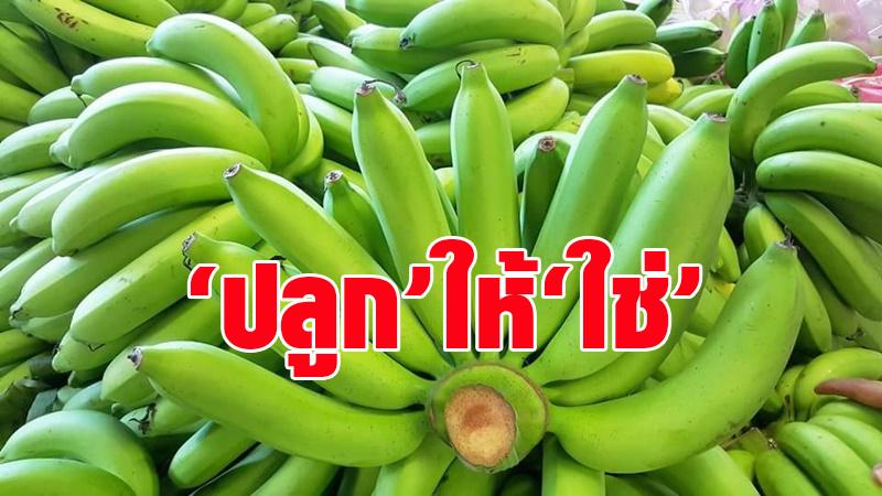 ชวนเกษตรกรร่วมโครงการ 'ปลูก' ให้ 'ใช่' นำร่องปลูกกล้วยหอมทองส่งญี่ปุ่นกำไรงาม 3.3 หมื่นบาท/ไร่