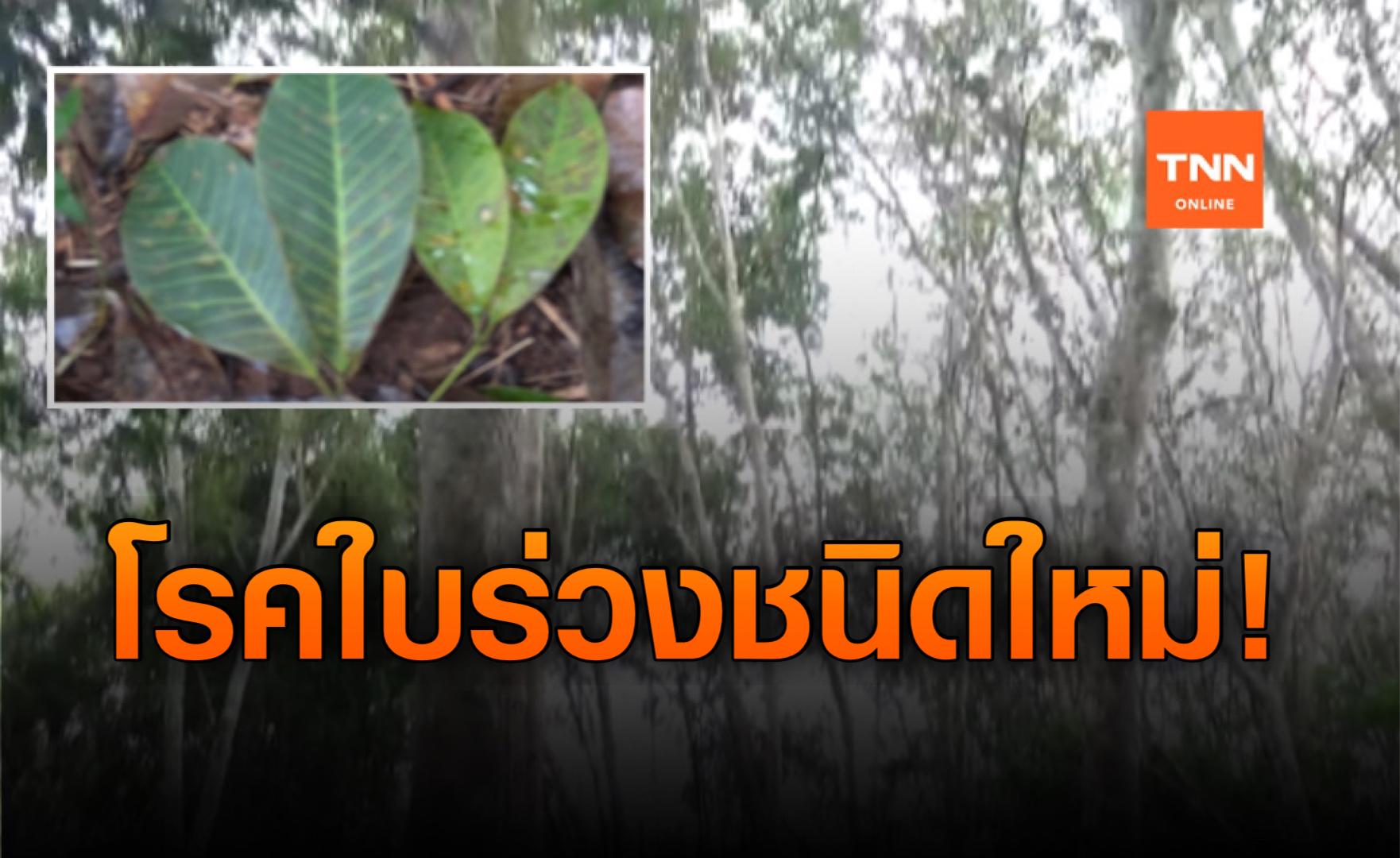 โรคใบร่วงชนิดใหม่ระบาดต้นยางพารา 10 จังหวัดภาคใต้-เสียหาย 7 แสนไร่