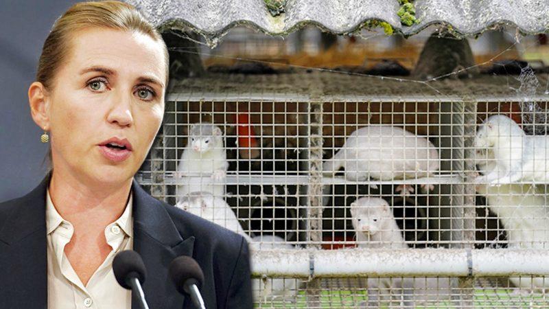 """โควิด : เดนมาร์กเดินหน้า """"ฆ่าหมู่มิงค์"""" 17 ล้านตัว-หลังพบติดเชื้อกลายพันธุ์อื้อ!"""