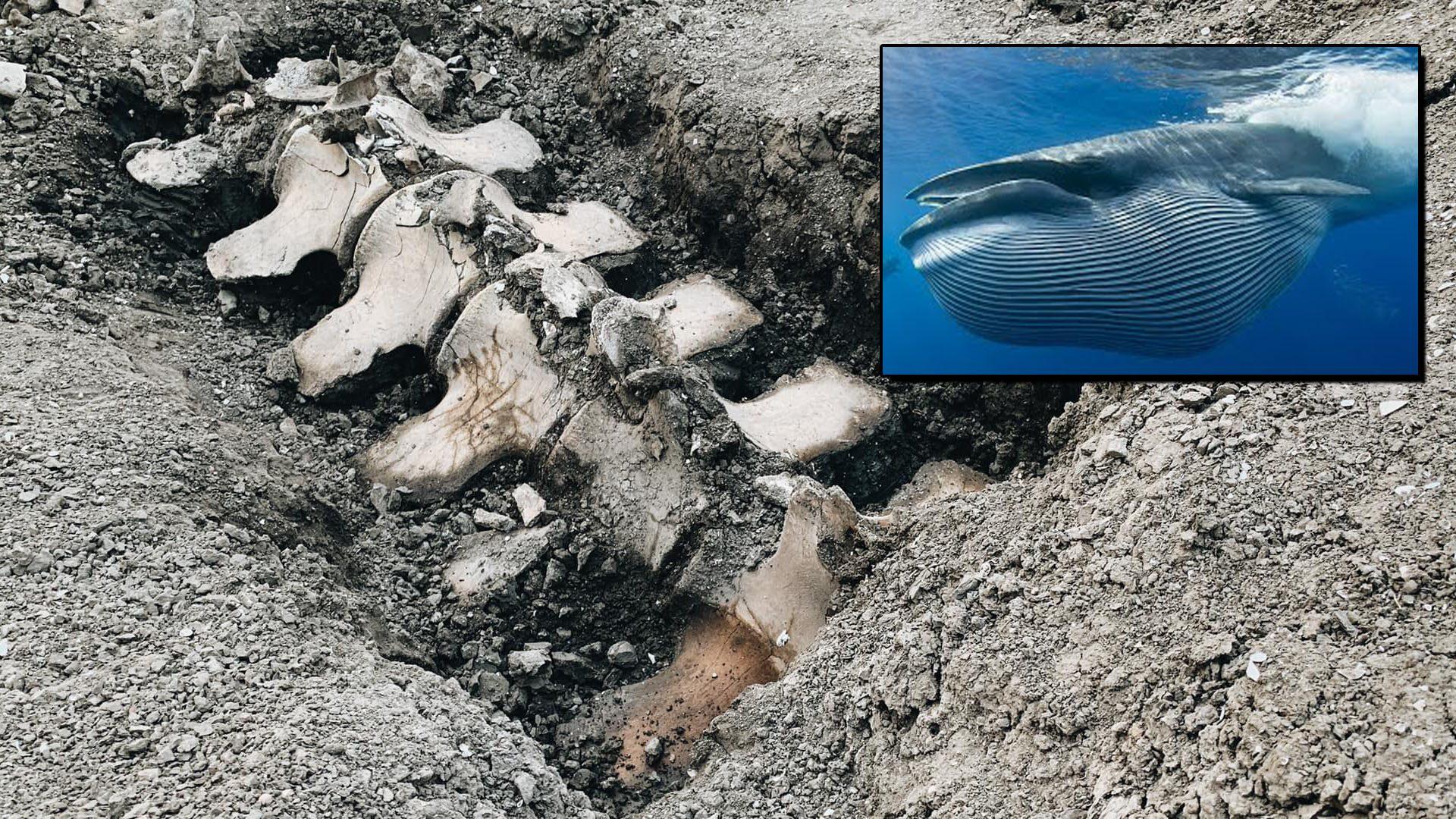 ยักษ์ทะเลบนดิน! พบโครงกระดูกวาฬ ใต้พื้นดินห่างไกลทะเล ชี้เป็นหลักฐานประวัติศาสตร์