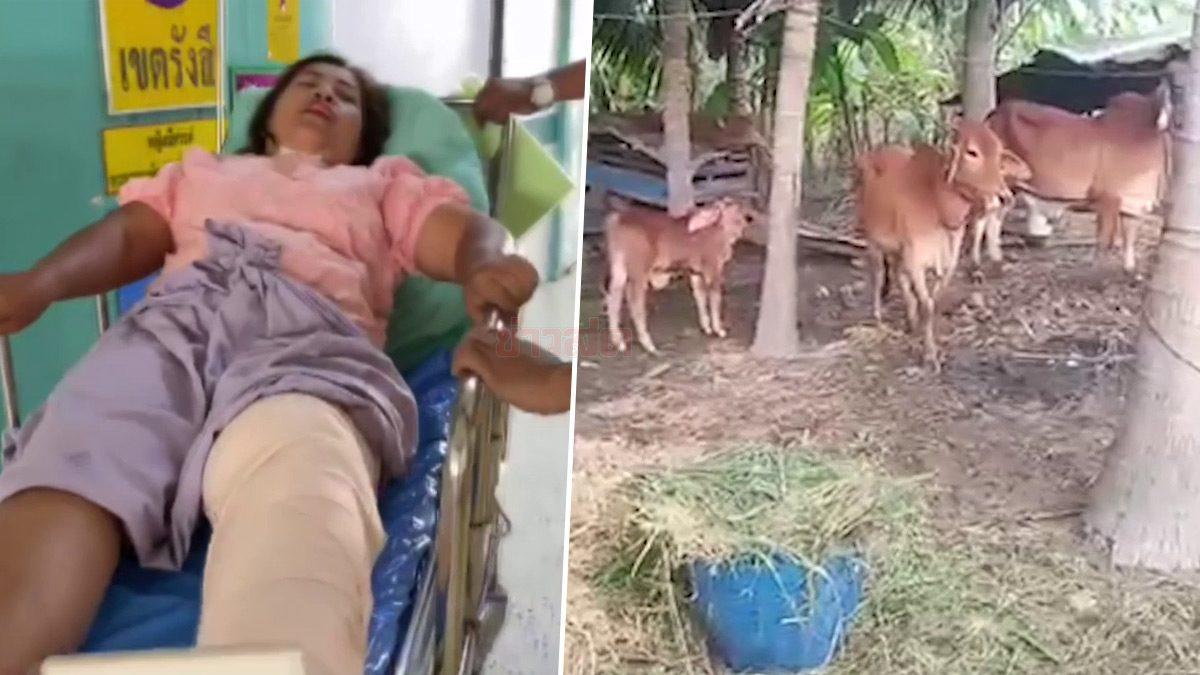 เด็กตื่นเต้นเห็นลูกวัว วิ่งเข้าหาโดนแม่วัวพุ่งชน ป้ายอมเจ็บปกป้องหลาน