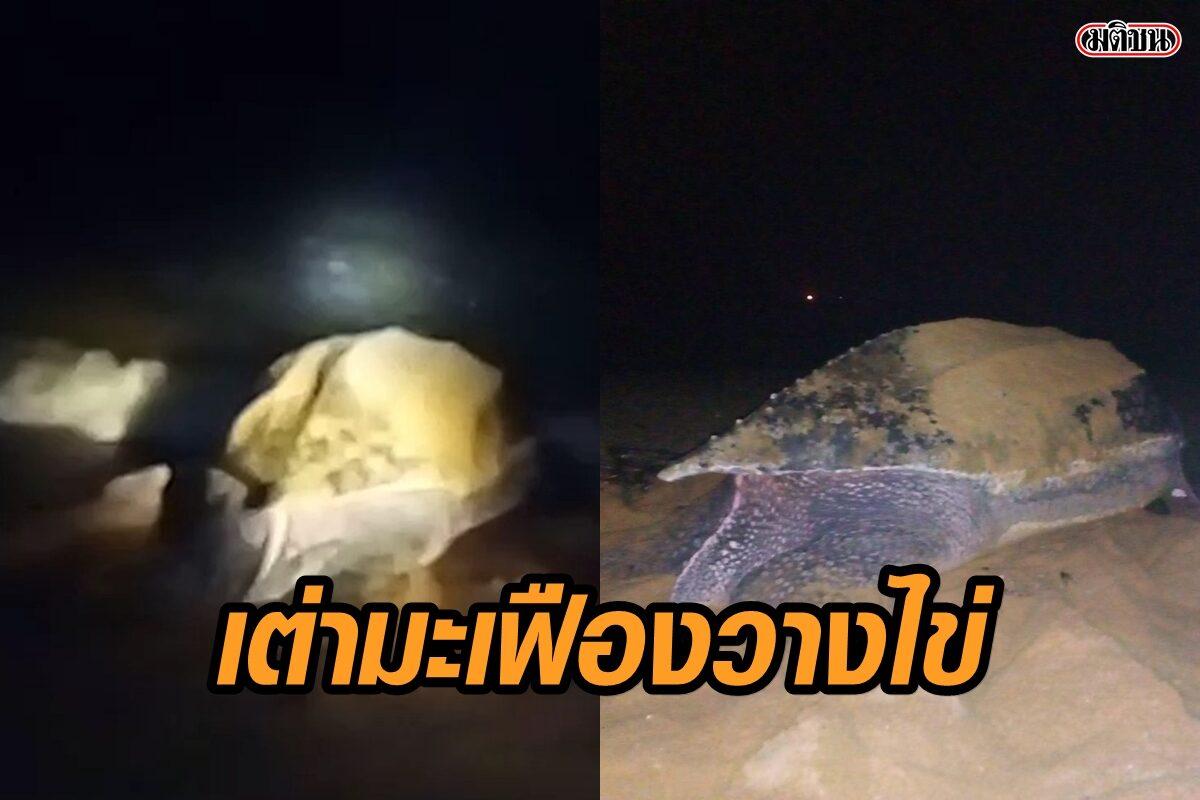 ชาวบ้านรีบแจ้ง จนท. พบแม่เต่ามะเฟืองขึ้นวางไข่รังที่ 3 ของฤดูกาล บริเวณหาดบางขวัญ