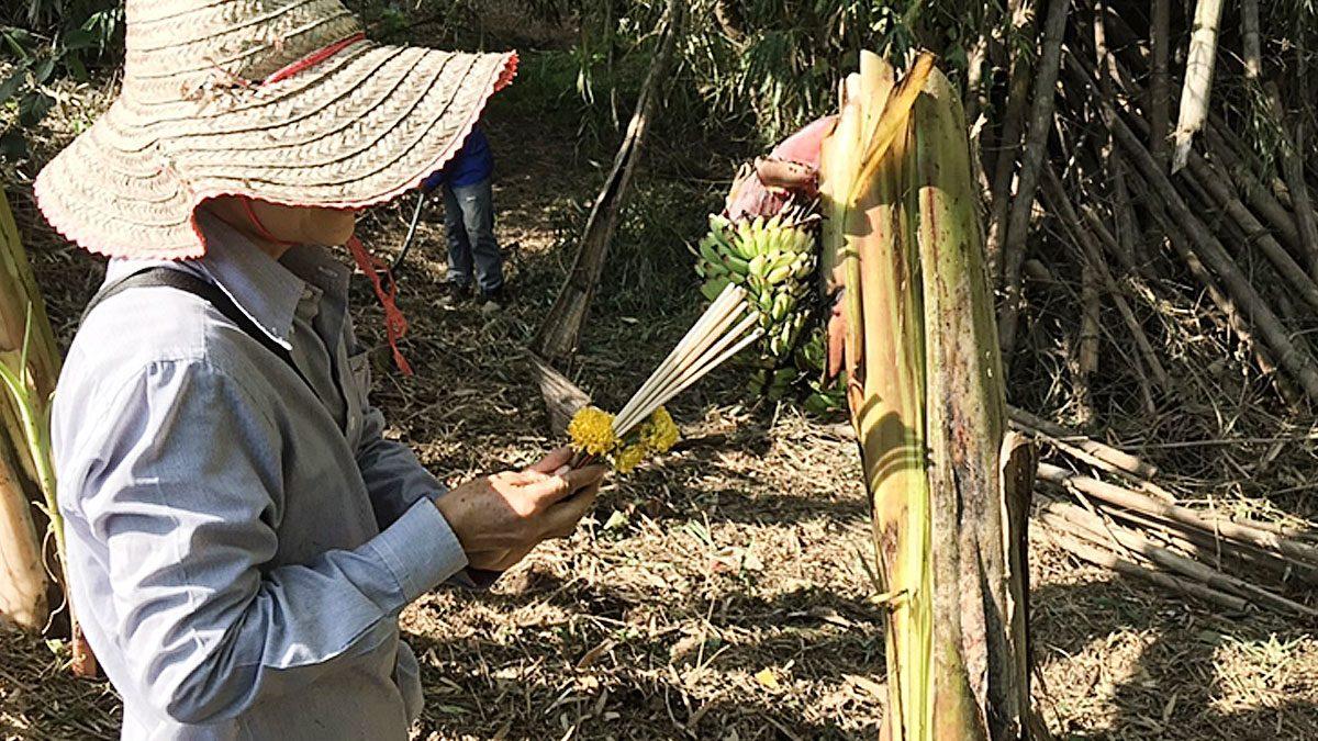ฮือฮา ต้นกล้วยประหลาด โผล่ติดสวนคนดวงเฮงรวย 12ล้าน แห่ตีเลขเด็ด