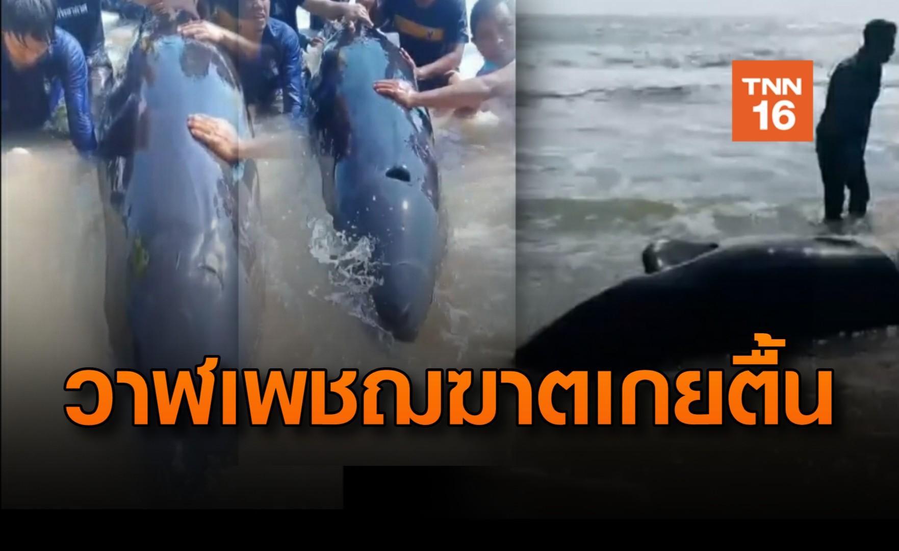 ช่วยชีวิต! วาฬเพชฌฆาตดำ บาดเจ็บเกยตื้นหาดบางเบิด