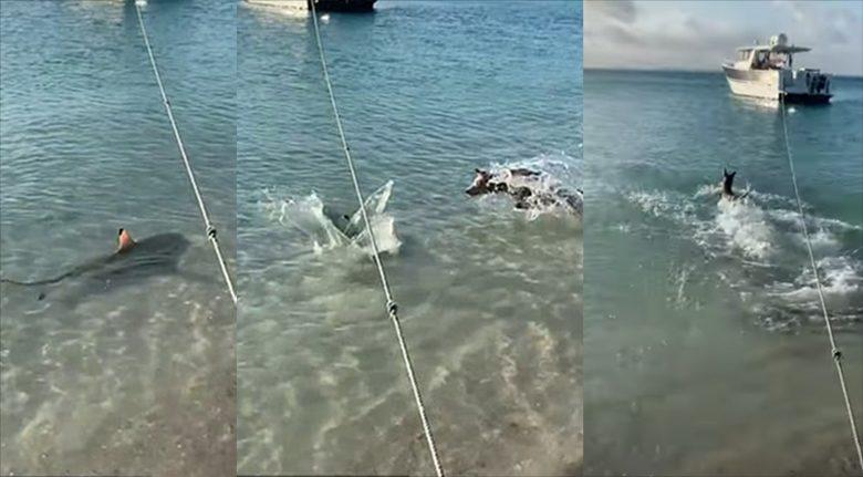 สุนัขไล่ฉลาม กระโจนลงทะเล ปกป้องเจ้านายไม่กลัวเกรง