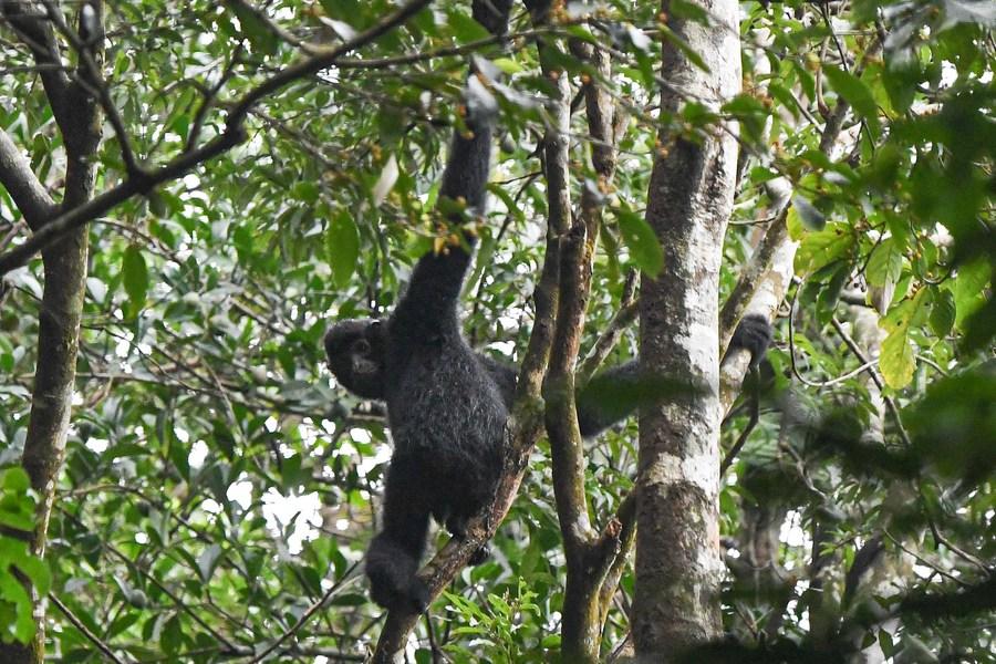 ตามติดทีมสำรวจ 'ชะนีไห่หนาน' บุกป่าฝนค้นหาตัวอย่างหายาก