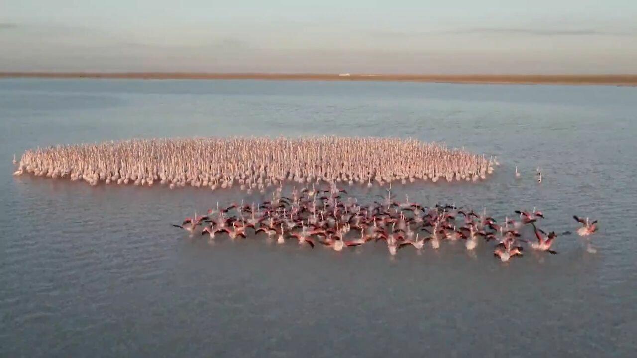 'นกฟลามิงโก' เริงระบำกลางทะเลสาบเทียมในคาซัคสถาน