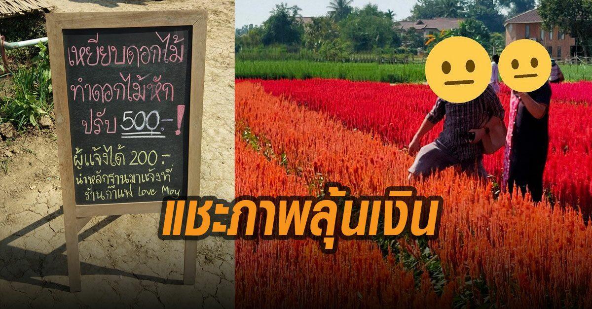จ๊อบใหม่! I Love Flower Farm เปิดโปร แชะรูปนักเที่ยวเหยียบแปลงดอกไม้ ลุ้นรับ 200 บาท