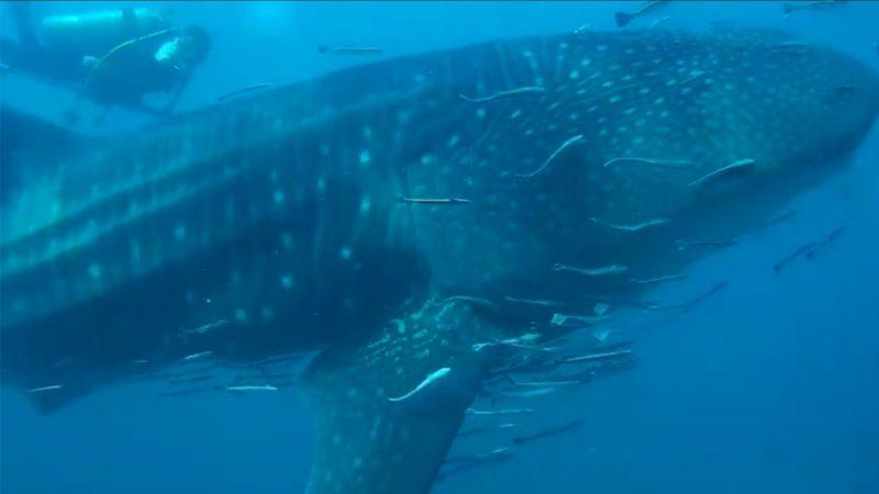 ตื่นตา! ฉลามวาฬ 15 เมตร โผล่ทะเลระยอง ว่ายอวดโฉมทักทายนักดำน้ำ