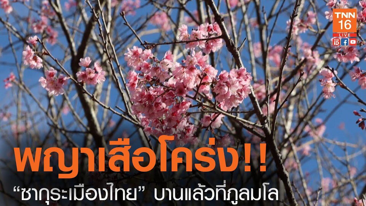 """""""ซากุระเมืองไทย"""" บานแล้วที่ภูลมโล (คลิป)"""