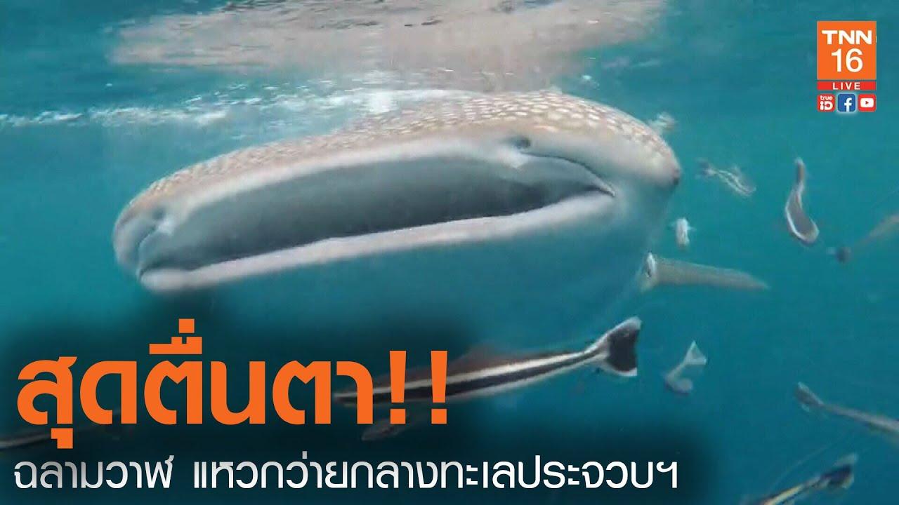 สุดตื่นตา!!  ฉลามวาฬ แหวกว่ายกลางทะเลประจวบฯ(คลิป)