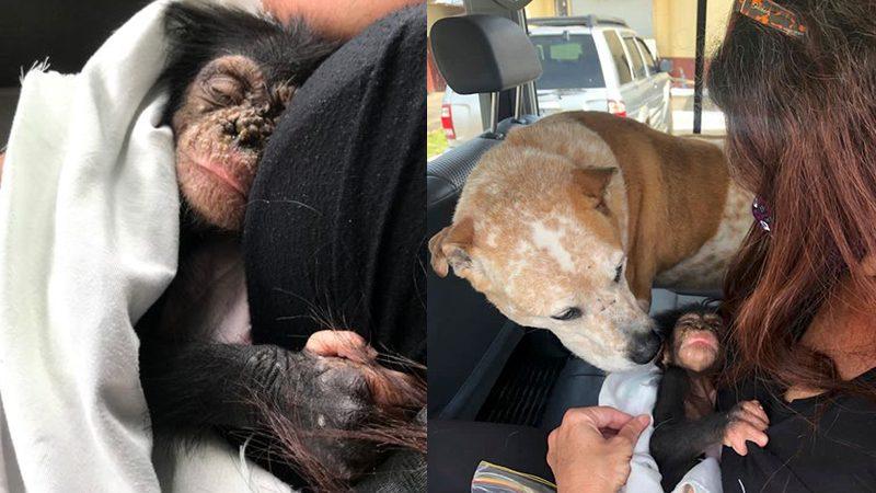 """ผู้พิทักษ์ป่าช่วยลูกน้อย """"ลิงชิมแปนซี"""" ตกต้นไม้ในไลบีเรีย หลังแม่ของมันถูกคนฆ่า"""