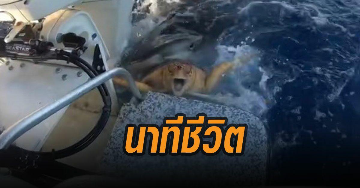 ชมคลิปนาทีชีวิต! เต่าทะเลโดนฉลามกัด สู้สุดใจ ตะเกียกตะกายขึ้นเรือ