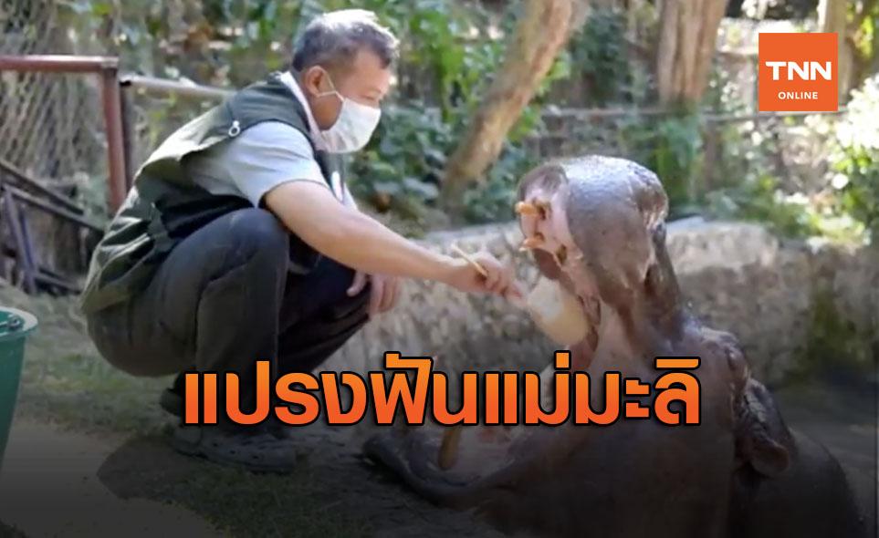 เผยภาพสุดน่ารักแปรงฟัน 'แม่มะลิ' ฮิปโปอาวุโสสุดในไทย