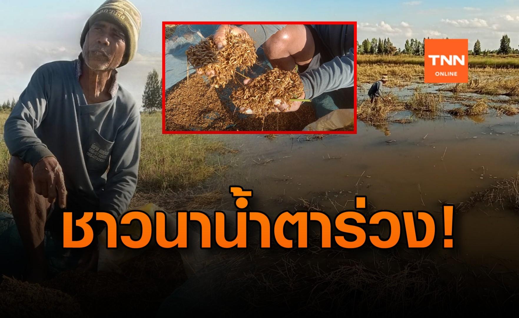 น้ำตาร่วง! ชาวนาเจอน้ำท่วม เดินเก็บข้าวร่วง หาเงินใช้หนี้