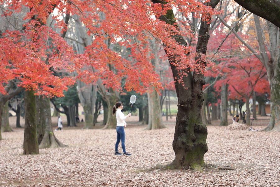 ยลสีสันใบไม้แดงในโตเกียว