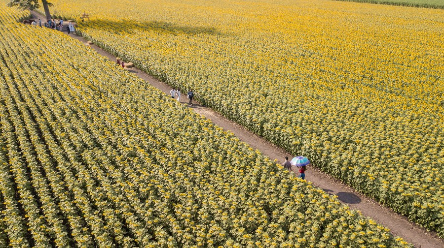 ทุ่งทานตะวันเหลืองอร่าม 'ลพบุรี' เบ่งบานต้อนรับนักท่องเที่ยว