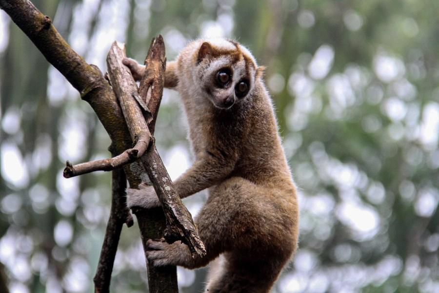 'ลิงลมชวา' ใกล้สูญพันธุ์ ถูกปล่อยคืนธรรมชาติในอินโดฯ
