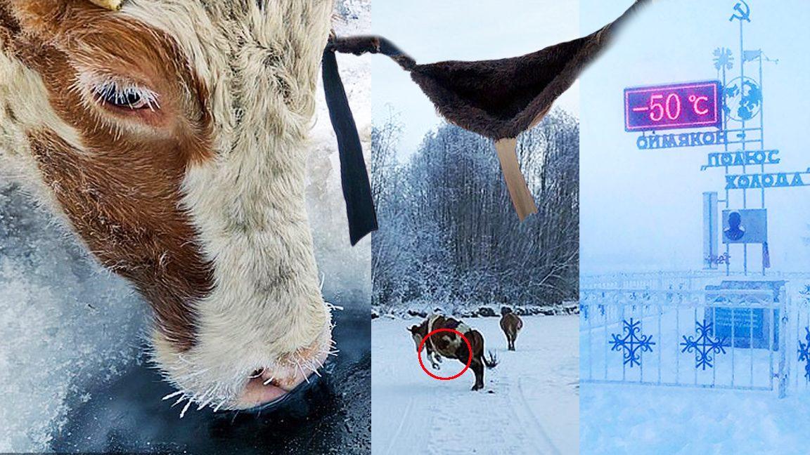 ทำบราให้วัวใส่ ฝ่าอุณหภูมิติดลบ -50 องศา หมู่บ้านหนาวสุดในโลก