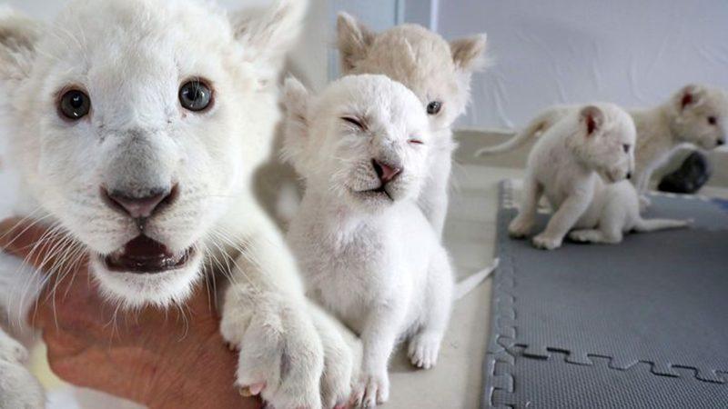 ลูกสิงโตขาวแฝดสี่หายาก สวนสัตว์จีนเตรียมให้ผู้คนยลโฉมสัปดาห์นี้