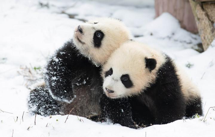 จีนเผยประชากร 'แพนด้าเลี้ยง' ทั่วโลกแตะ 633 ตัว