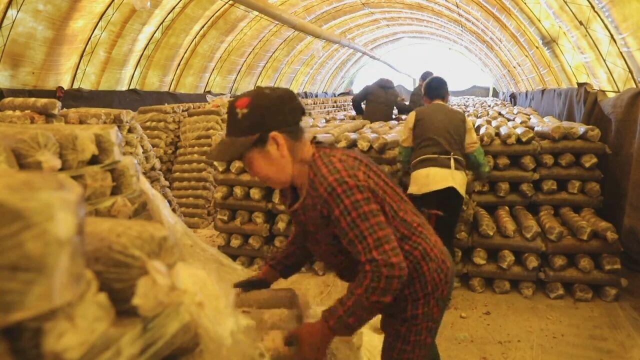 'เห็ดกินได้' ในเหอเป่ย ช่วยพลิกชีวิตชาวบ้านนับหมื่น