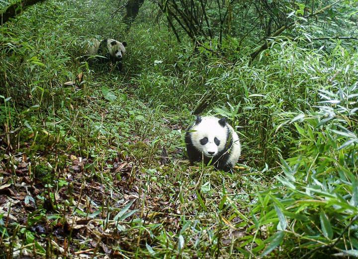 ประชากร 'สัตวป่าหายาก-ใกล้สูญพันธุ์' ในจีนฟื้นตัว