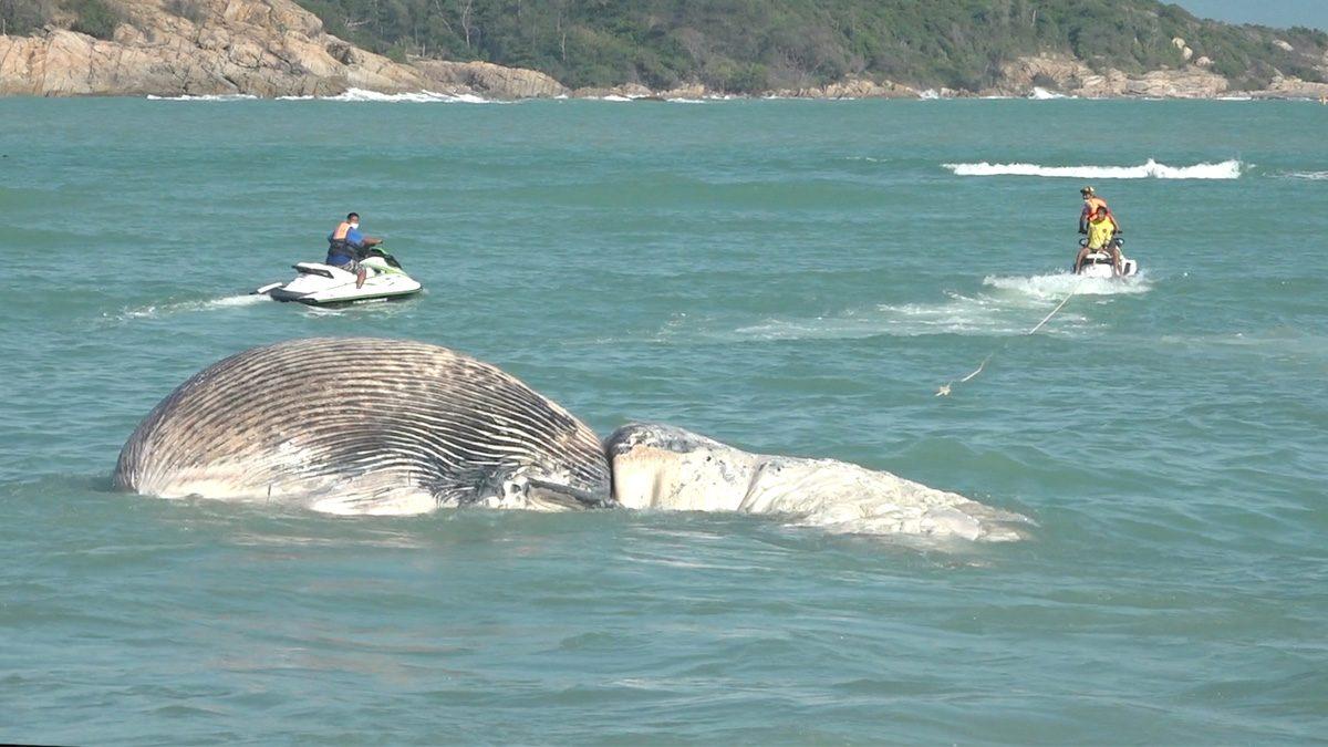 เผยผลผ่า ซากวาฬบรูด้า ไม่พบอาหารในท่อทางเดิน คาดหาอาหารไม่ได้