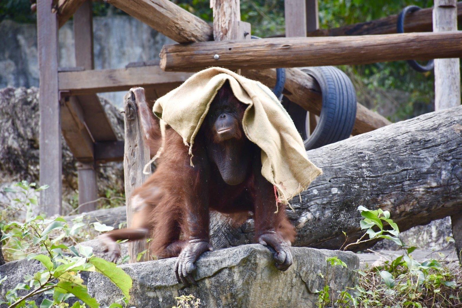 สวนสัตว์เปิดเขาเขียว ช่วยสัตว์คลายหนาว ให้กระสอบอุรังอุตัง-ฮิปโปนอนอาบแดด