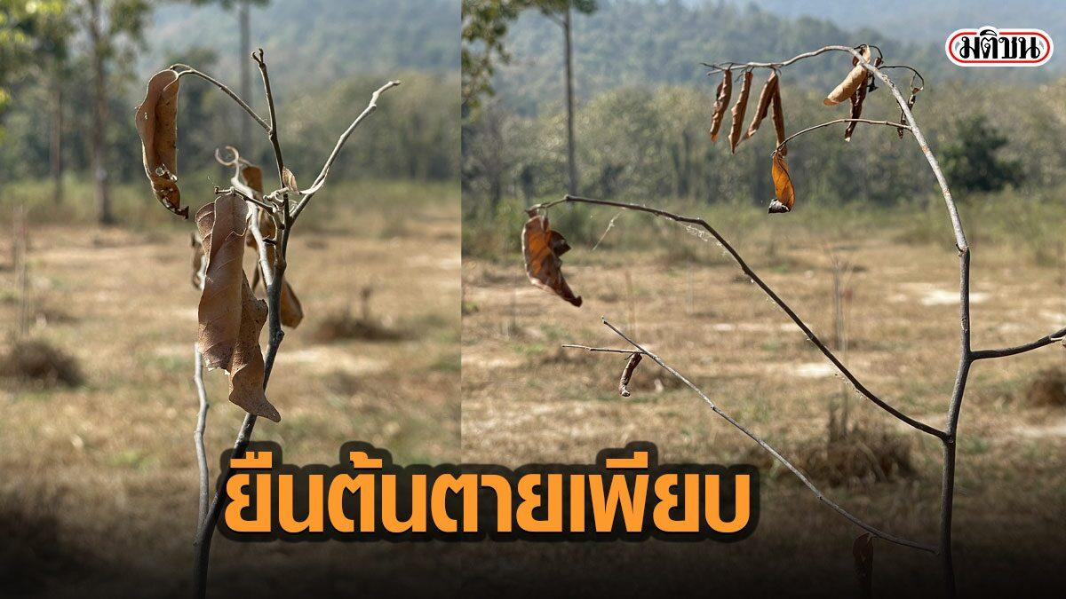 เปิดภาพพื้นที่จริง พื้นที่ปลูกป่าห้วยตึงเฒ่า พบส่วนใหญ่ยืนต้นตาย รอด 6 ต้น